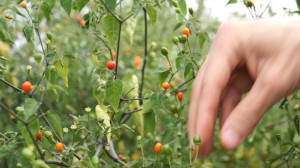 chiltepin-picking