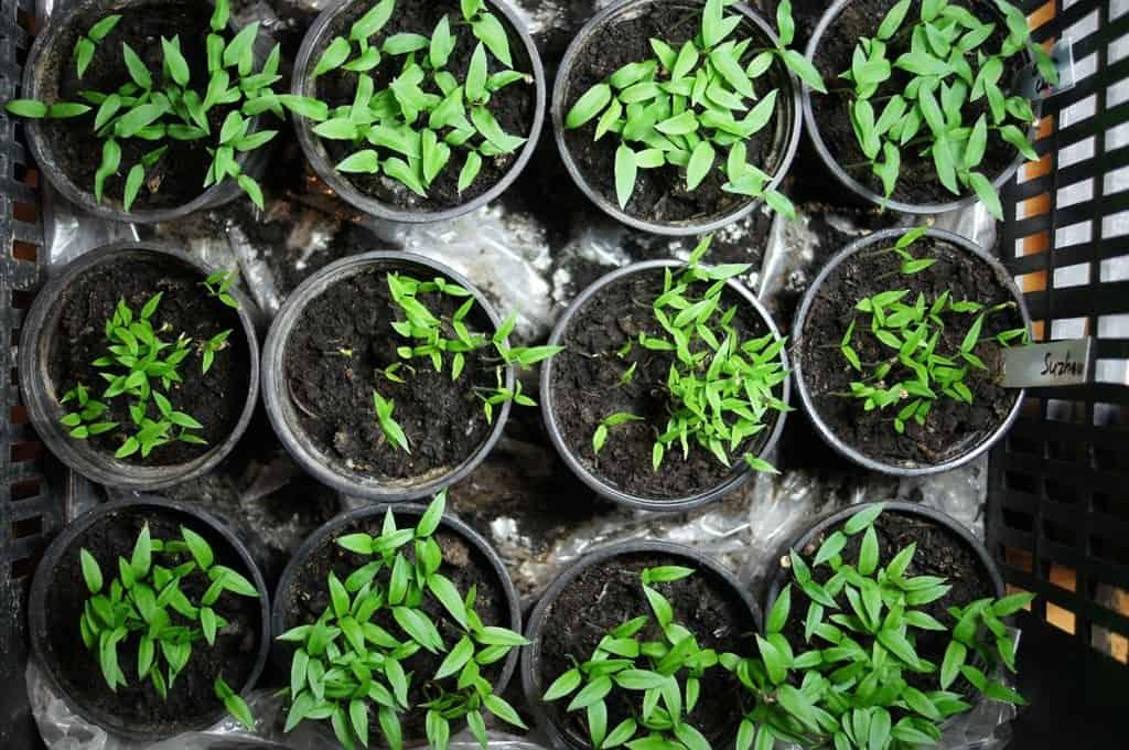 crowded chilli starting pots