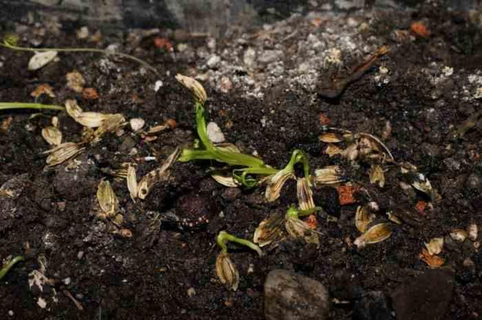 Seedlings of Ashitaba