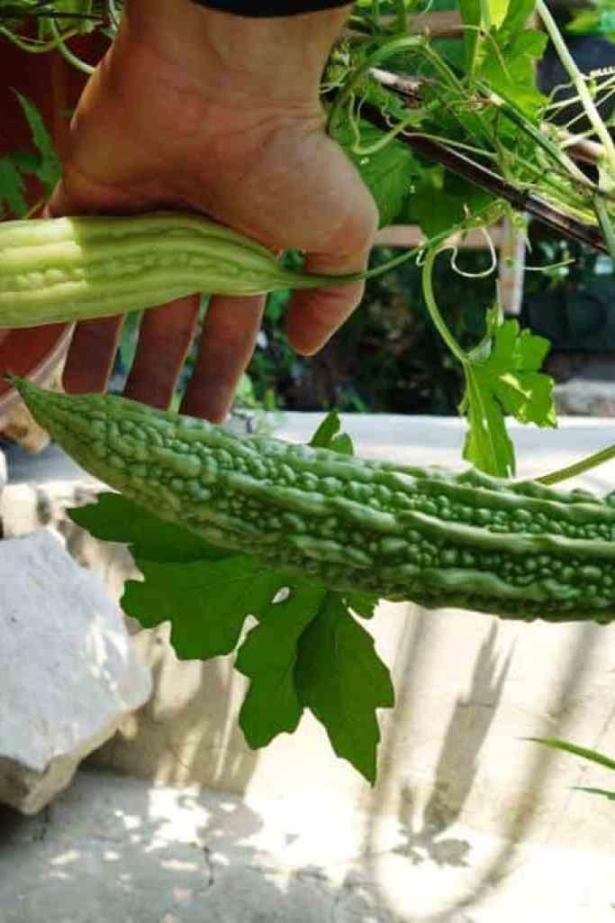 Früchte der Freiland-Kugua