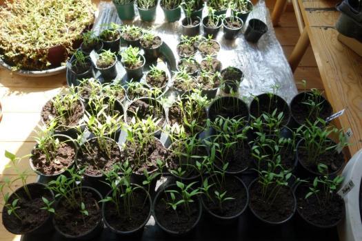 Chilli-Seedling-Jungle