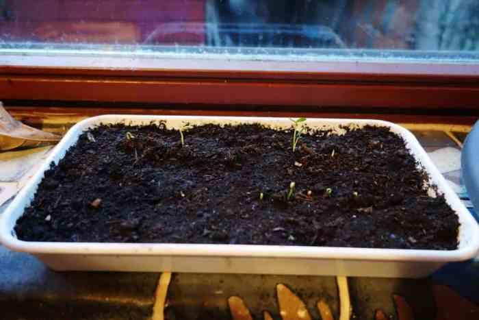 Huajiao Seedlings