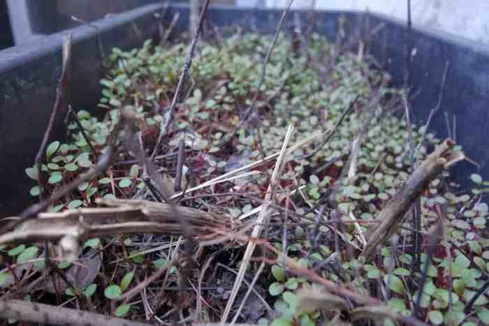 Mehr Wasserpfeffer (im Frühjahr)