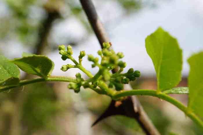 Zanthoxylum (Sichuan Pepper) Flower Bud