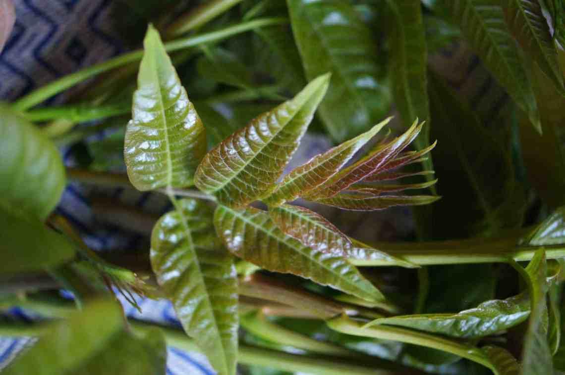 Chun Leaves in Closeup