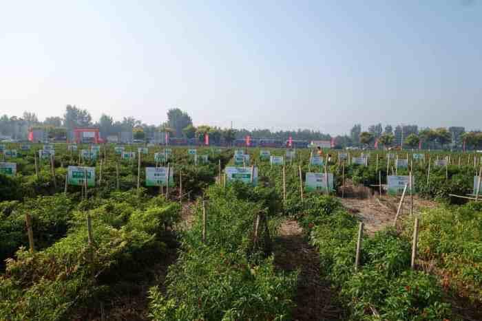 Experimentelles Chillifeld in Zhecheng, Henan