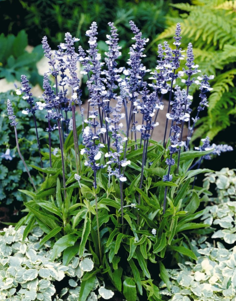 Salvia farinacea, 'Fairy Queen' Seeds £2.25 from Chiltern ...