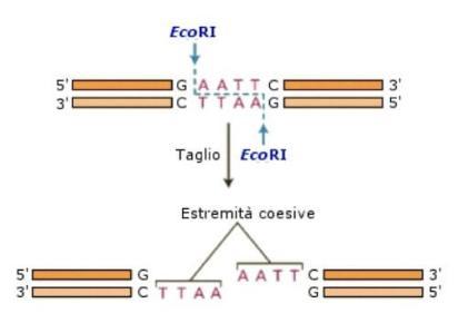 Azione dell'enzima di restrizione EcoRI