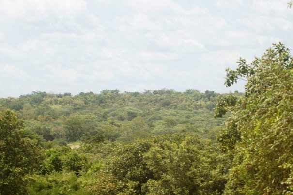 A view of tree cover in Budongo Forest