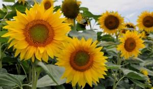Bulgaria sunflowers