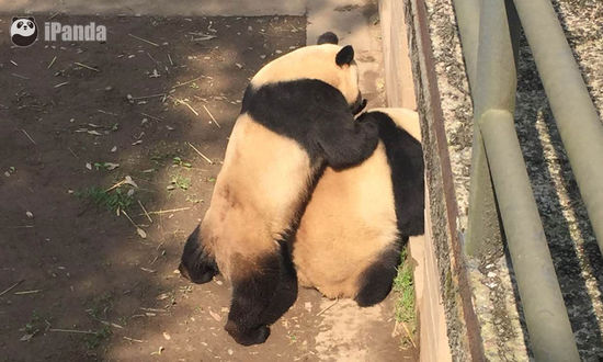 Internet users hoping to catch glimpse of mating pandas