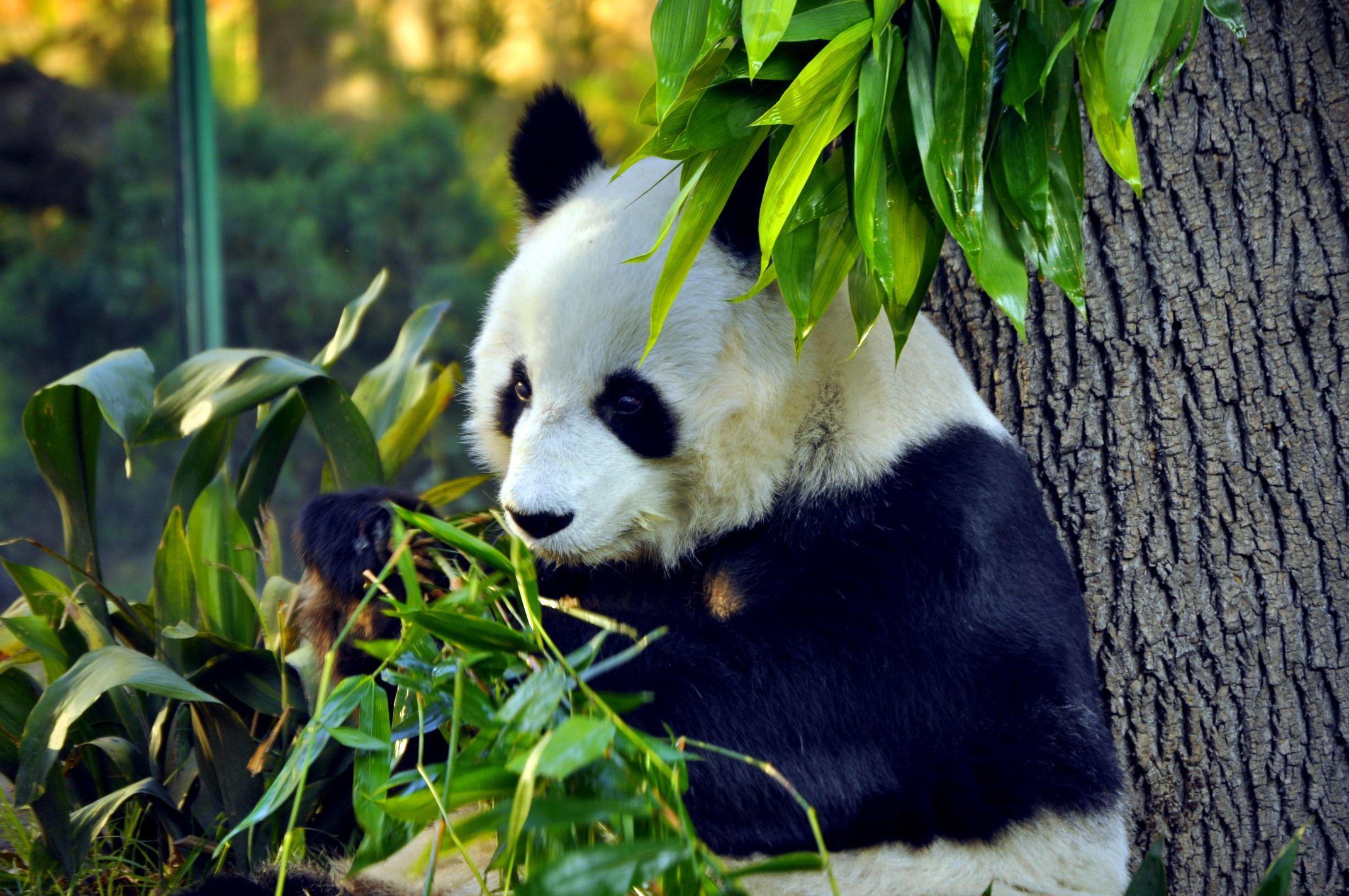Videorreportaje: Los pandas del Zoológico de Chapultepec