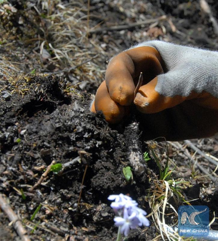 Enfoque de China: Hongos mágicos de China que crecen en la hierba