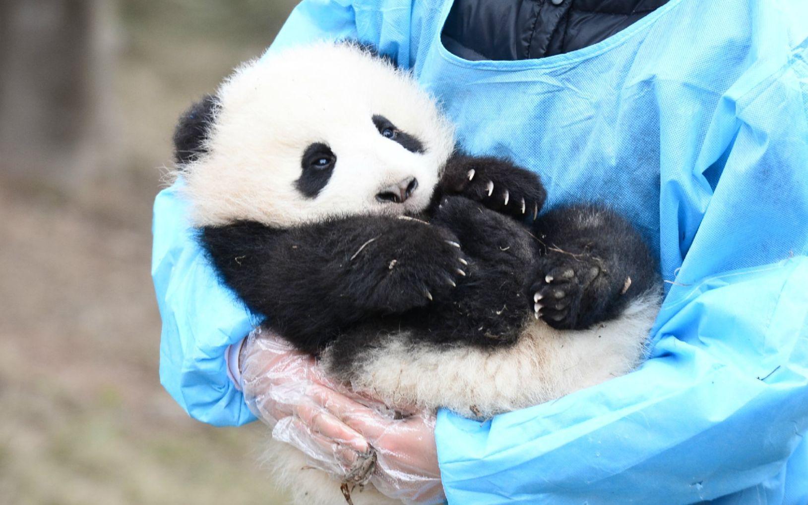 China crea programa para que jóvenes del mundo viajen a China y conozcan cómo viven los pandas