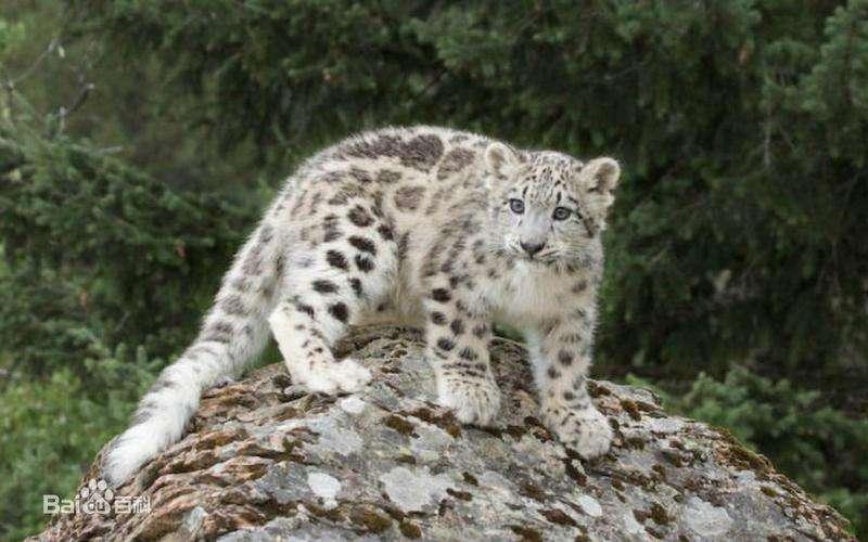 ENFOQUE: Protección de leopardo de las nieves en China rinde frutos