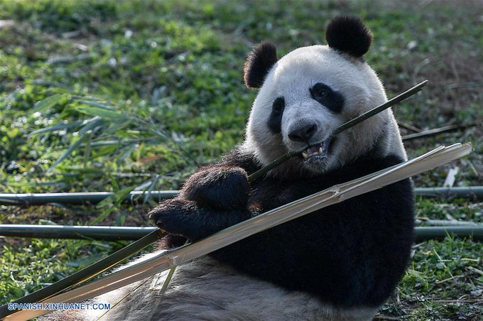 China revisa dentadura de pandas gigantes
