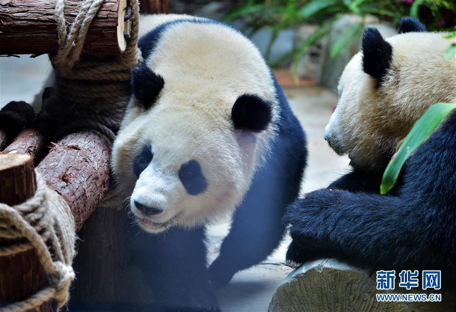 Nacen gemelas de oso panda en noroeste de China