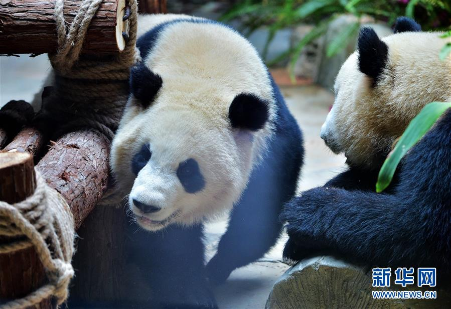Celebran cumpleaños de pandas gemelos en este de China