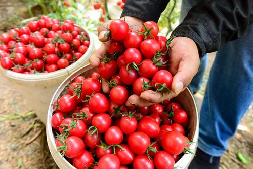 Urumqi reabre mercados de productos agrícolas con estrictas medidas de prevención de COVID-19