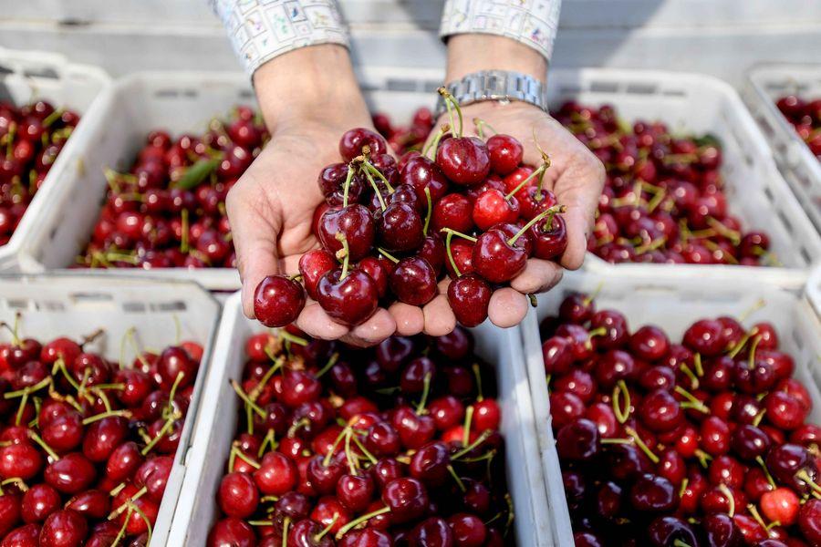 Empresario de cerezas chileno es optimista sobre mercado chino