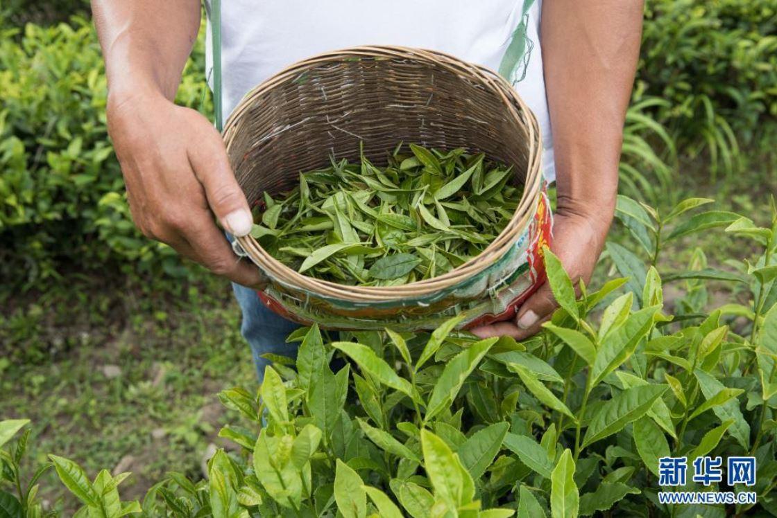 Beber té verde puede ayudar a prevenir la enfermedad de Alzheimer, según un estudio