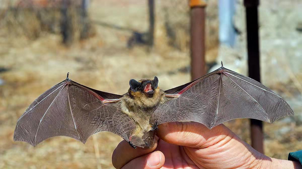 Investigadores estudian muestras de murciélagos para investigar parientes del SARS-CoV-2