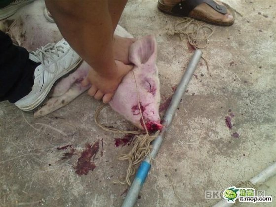 A bloodied pig being stepped on and choked by a Chinese student.