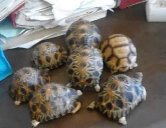 Trafic illicite de tortues : Découvertes de 7 spécimens sur un chinois