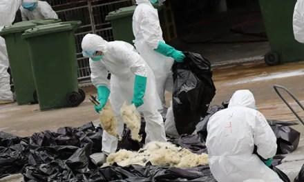 Le virus H7N9 est inoffensif pour les humains