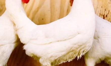Vers la fin de l'abattage de volailles vivantes sur les marchés