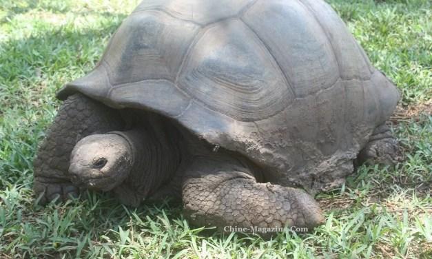 La tortue, outil ancestral de la calligraphie chinoise