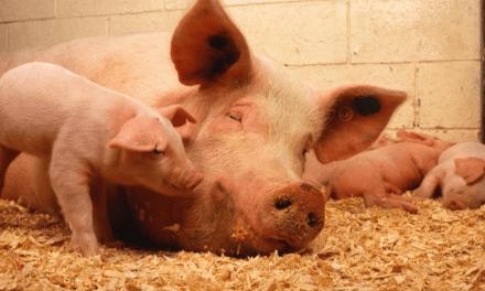 Peste porcine : Hong Kong va abattre 6.000 porcs