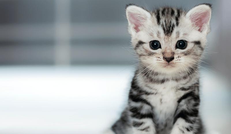 Un chat cloné pour la première fois en Chine