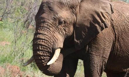 L'ivoire, un or désormais interdit