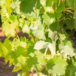 Les investissements viticoles chinois en bordelais