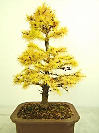 Enjoyable Japanese Larch Bonsai Tree Wiring 101 Capemaxxcnl