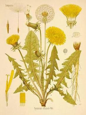 Dandelion Cancer Prevention Recipe in Chinese Medicine