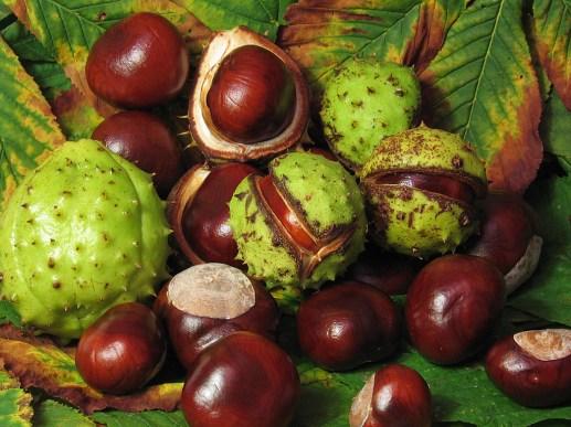 horse chestnut for hemorrhoids