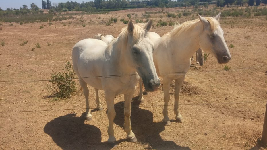 Cavalli della Camargue, tipici di queste zone