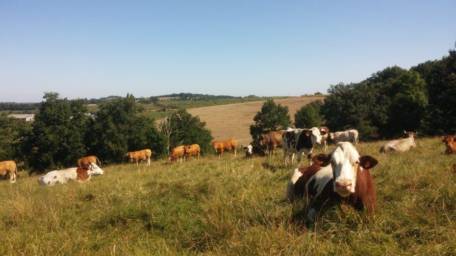 Le mucche accompagnano molti nostri passi