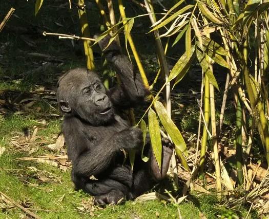 Baby Gorilla Reaches Disney Milestone 1