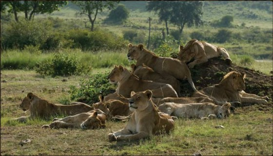 African Cats lions