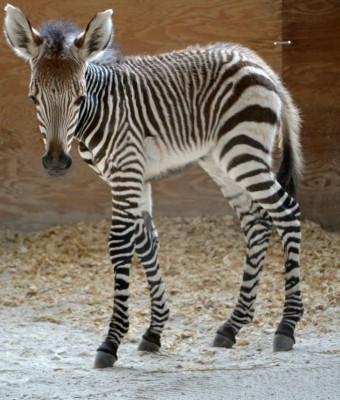 Baby Zebra at Animal Kingdom