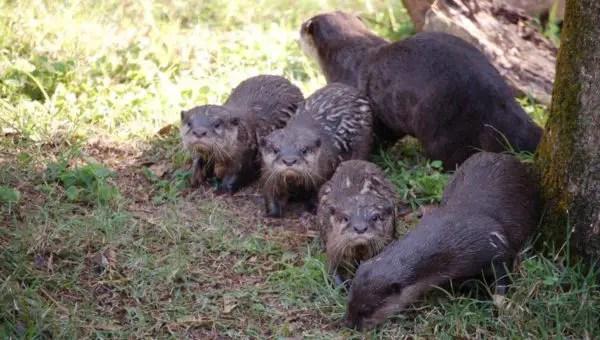 Disney's Animal Kingdom Otters