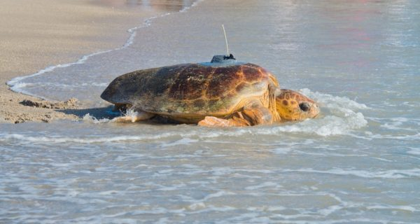 Tour de Turtles This Saturday at Disney's Vero Beach Resort! 1