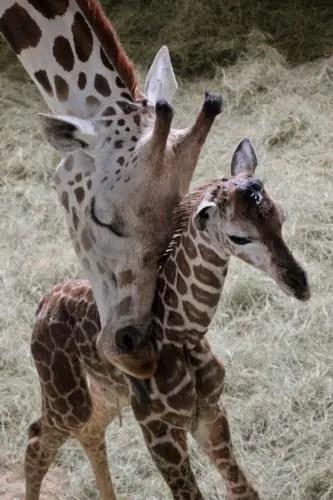 Weighing Baby Giraffe : weighing, giraffe, Giraffe, Disney's, Animal, Kingdom, Company