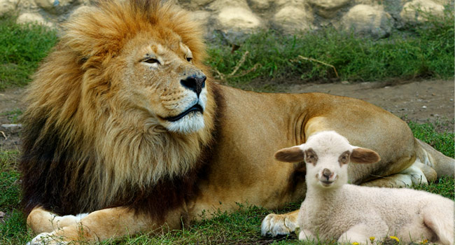 Image result for the lamb and the lion