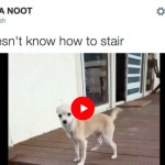 Cute Chihuahua Puppy Learning Stairs {Video}