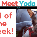 Meet Yoda…Our Chi of the Week!