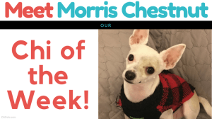 Meet Morris Chestnut…Our Chi of the Week!